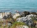 Leguan auf Felsen