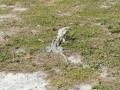 Leguan im Rasen