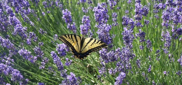 Lavendel, Honig & Eier