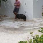 Gassi mit Hausschwein
